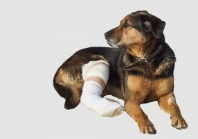Wounded dog, a broken leg, dog eyes, isolated on white