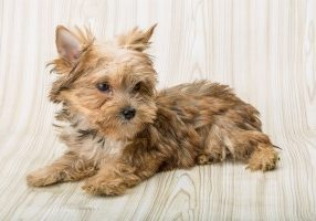 Luxating Patella in small breed dogs